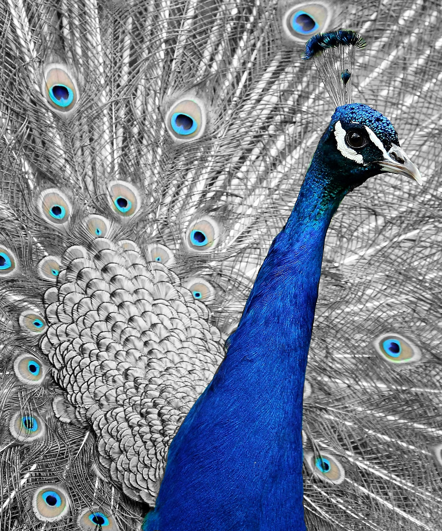 The I - Peacock