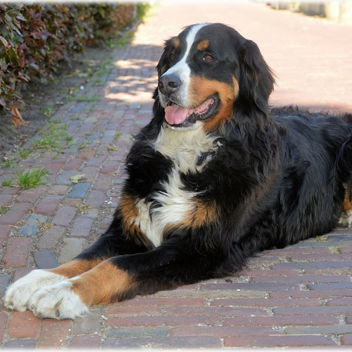The Objective Thinker is a Bernese Mountain Dog