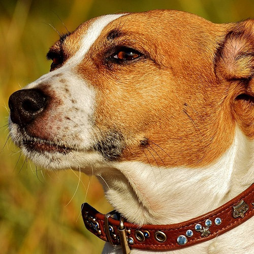 The Results is the Jack Russell Terrier