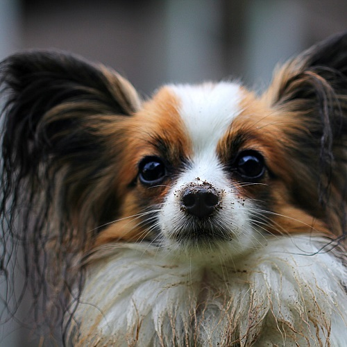 The Perfectionist is the Papillon