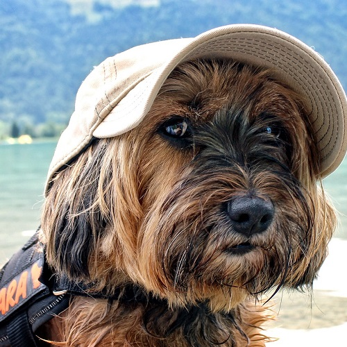 The Agent is the Tibetan Terrier